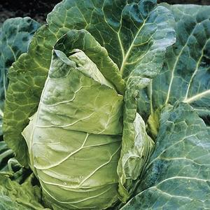 Spring Cabbage (Durham Early)