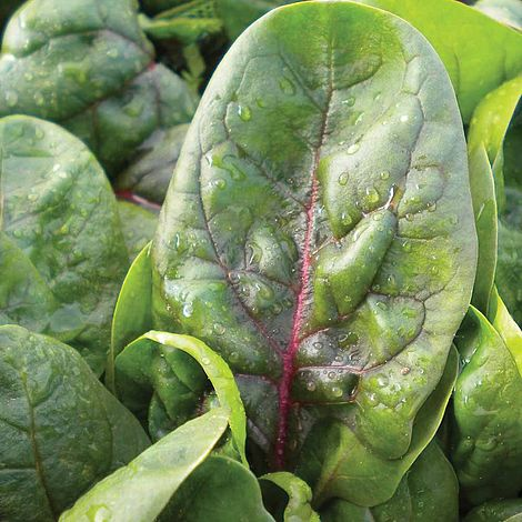 Spinach (Red Veined)