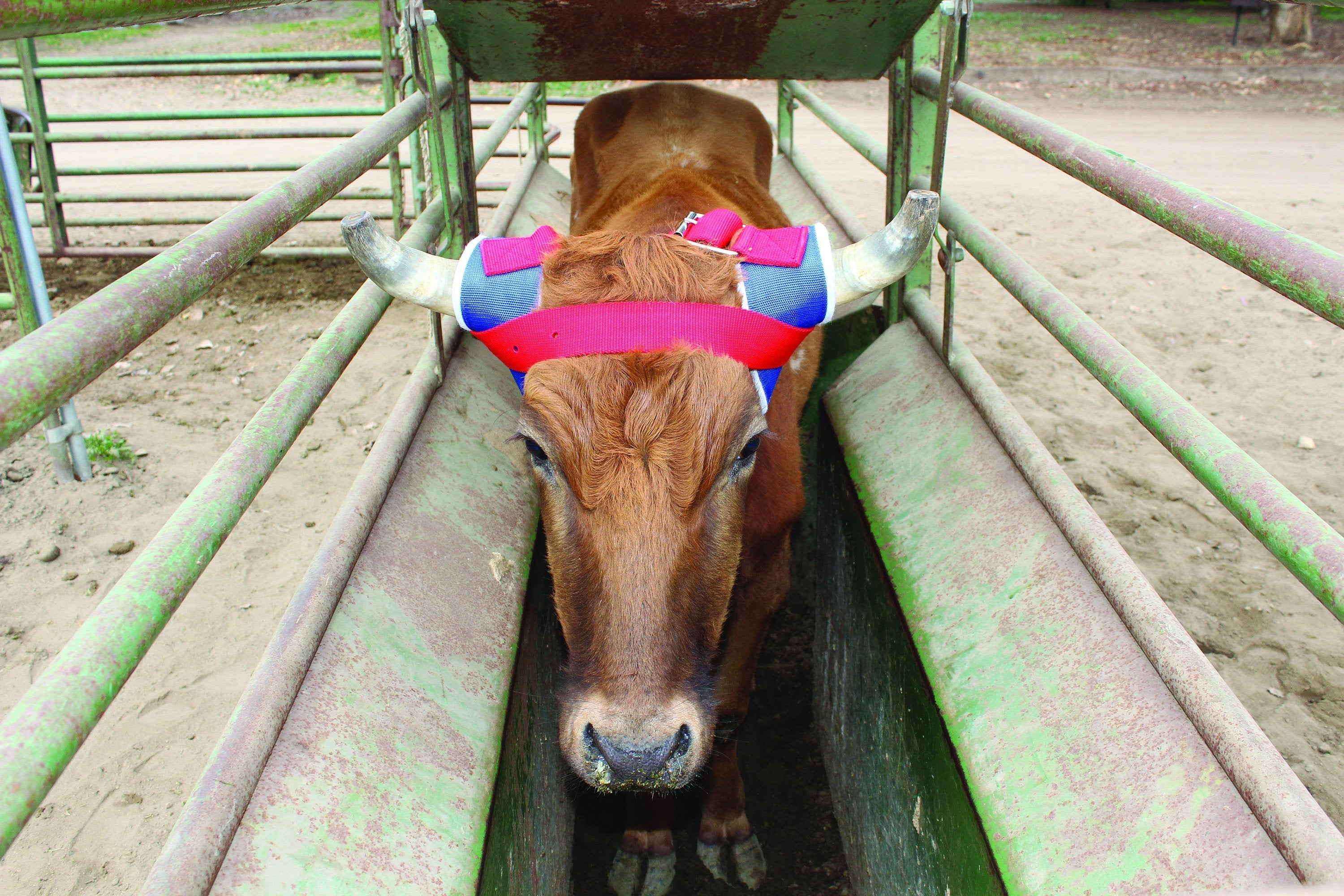 Professional's Choice VenTech Steer Horn Wrap - Animal Health Express