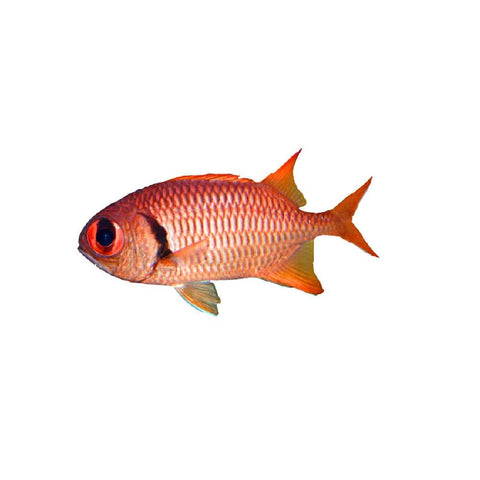 Blotch Eye Soldierfish