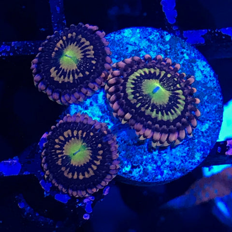 Zoa Frag - Alien Antivenom