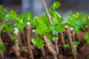 Understanding Plant Propagation from Offcuts