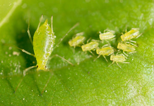 3 Backyard Plant Pests to Know and Prepare for This Spring
