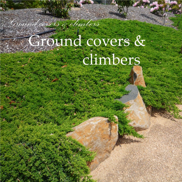 Climbers & Groundcovers