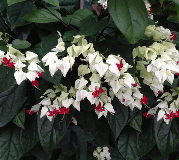 Bleeding Heart Vine - Clerodendrum thomsoniae