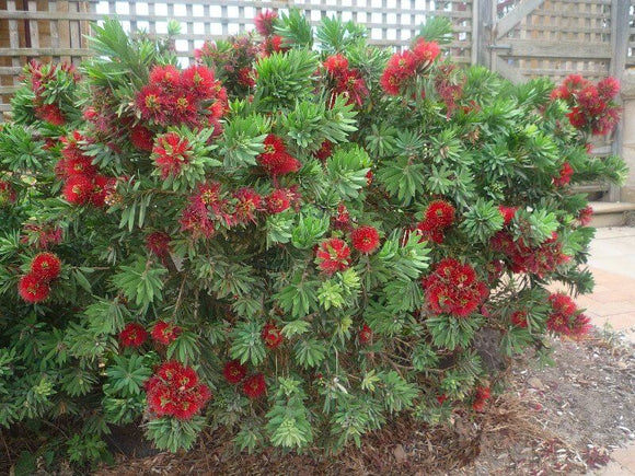 Dwarf Bottlebrush - Callistemon Little John