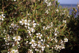 Coastal Tea Tree - Leptospermum Laevigatum
