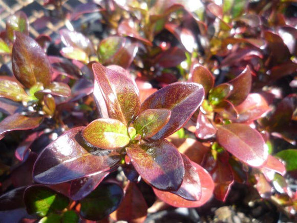 Coprosma Roys Red