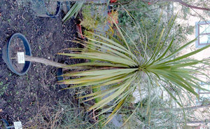 Cabbage Tree Green - Cordyline Australis