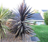 Cabbage Tree Purple - Cordyline Australis