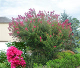 Crepe Myrtle Tonto - Lagerstroemia indica