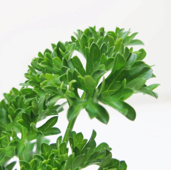 Curly Parsley Herb - Petroselinum Crispum