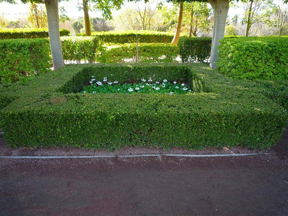 English Box - Buxus Sempervirens