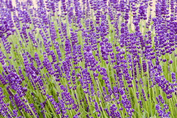 English Lavender Hidcote Blue - Lavandula Angustifolia