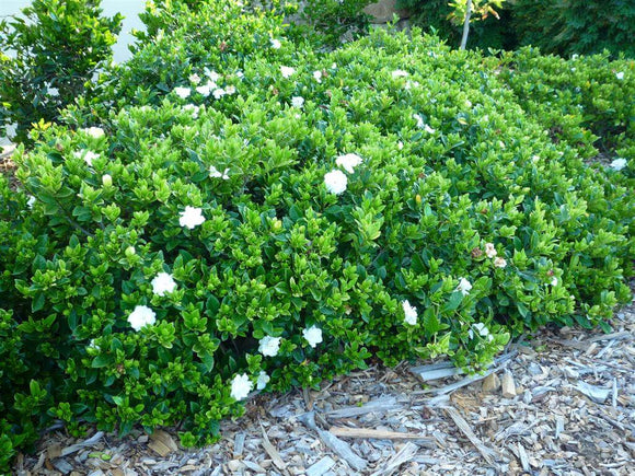 Gardenia Augusta Florida (150mm pot)