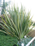 New Zealand Flax Green - Phormium Tenax