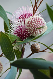 Pin-cushion Hakea Laurina