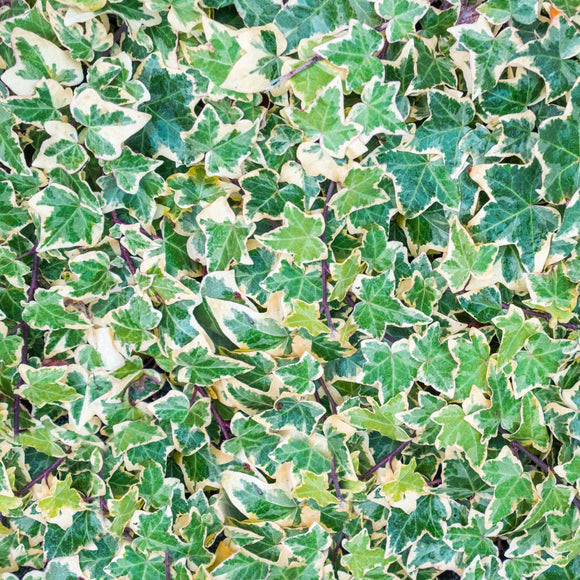 English Ivy Variegated - Hedera helix Variegata
