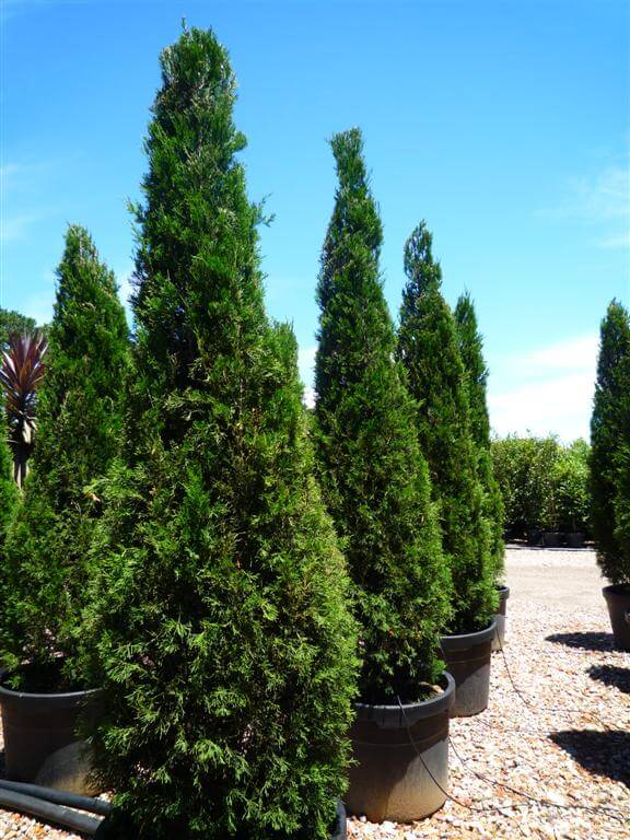 Spartan Juniper conifer - Juniperus Chinensis Spartan