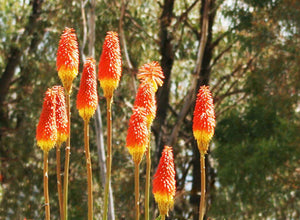 Red Hot Poker - Kniphofia Papaya Popsicle
