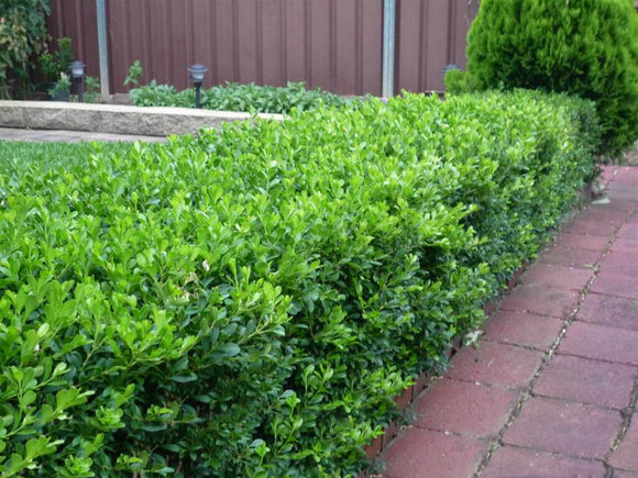 Korean Box - Buxus Microphylla Microphylla (140mm pot)