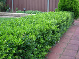 Korean Box - Buxus Microphylla Microphylla