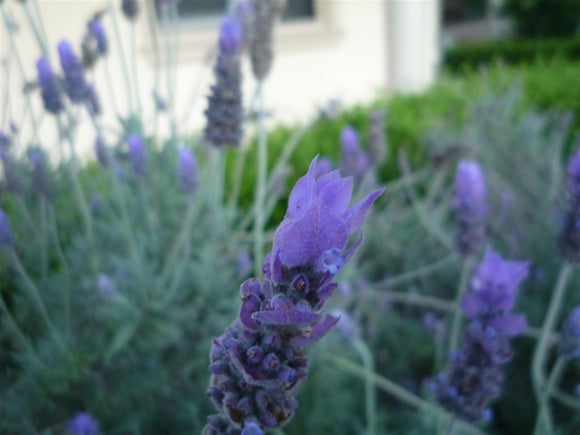 French Lavender - Dentata