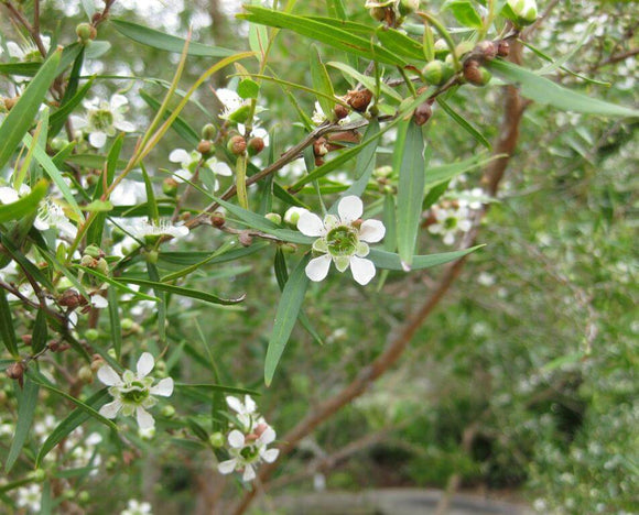 Lemon Scented Tea tree - Leptospermum Petersonii