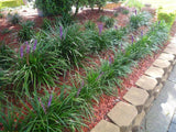 Liriope Evergreen Giant - Liriope Muscari