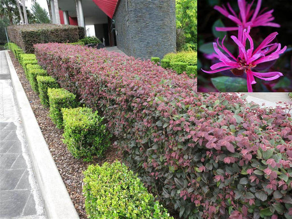 Fringe Flower - Loropetalum China Pink
