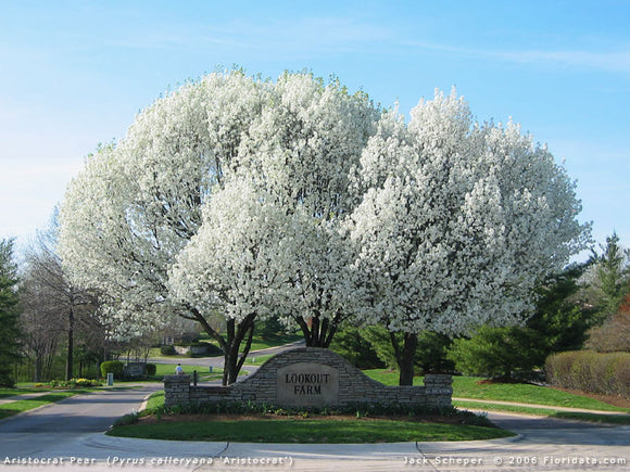Ornamental Pear - Pyrus Calleryana