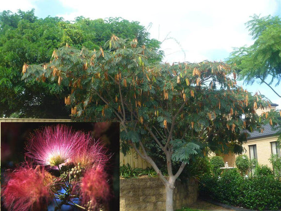 Persian Silk Tree - Albizia Julibrissin Rosea