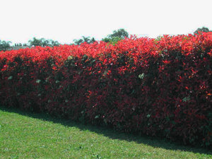 Photinia Red Robin - Photinia x fraseri
