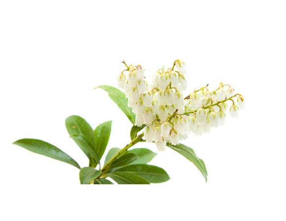 Pieris Temple Bells - Pieris Japonica