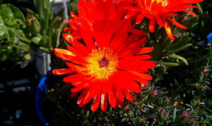 Pigface Orange - Mesembryanthemum