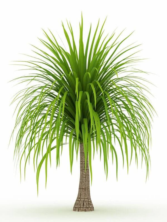 Ponytail Palm - Beaucarnea Recurvata