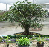Port Jackson Fig - Ficus Rubiginosa