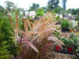 Purple Fountain Grass - Pennisetum advena Rubrum