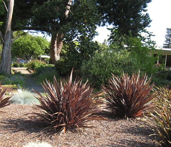 New Zealand Flax Purple - Phormium Tenax Purpureum