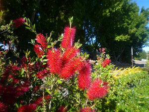 Crimson Bottlebrush - Callistemon Citrinus