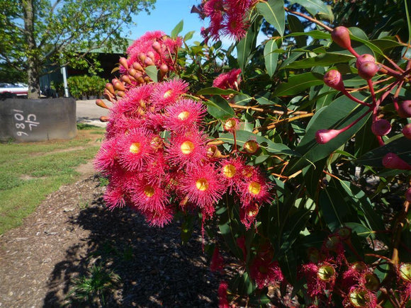 Red Flowering Gum - Corymbia Ficifolia