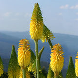 Red Hot Poker - Kniphofia Percys Pride
