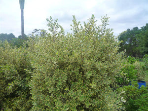 Variegated New Zealand Christmas bush