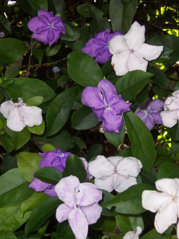 Yesterday Today Tomorrow - Brunfelsia Latifolia