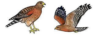 Jewelry - Earrings, Red Shouldered Hawk