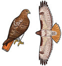 Jewelry - Earrings, Red Tailed Hawk