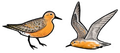Jewelry - Earrings, Red Knot