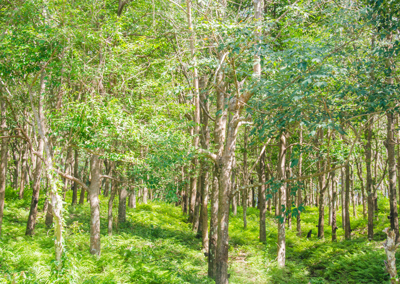 Rubber tree garden - latex is derived from the sap of the rubber tree
