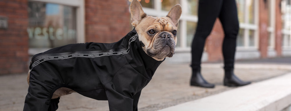 Frenchie wearing a black dog slush suit | Canada Pooch