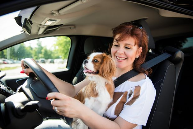dog-seat-belt-distracted-driving